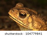 Toad close-up  watch ! - stock photo
