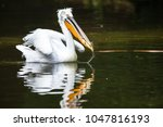 great white pelican also known... | Shutterstock . vector #1047816193