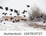 A Flock Of Crows Flying Above...