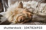 a beautiful tricolor cat... | Shutterstock . vector #1047826933