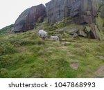 Ilkley Moor Sheep