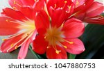Red Clivia Flower