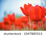 bright saturated red tulips on... | Shutterstock . vector #1047885313