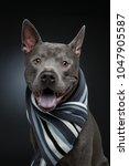 beautiful thai ridgeback dog in ... | Shutterstock . vector #1047905587