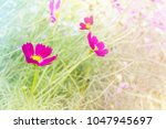 lovely pink flower cosmos in...   Shutterstock . vector #1047945697