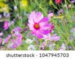 lovely pink flower cosmos in...   Shutterstock . vector #1047945703