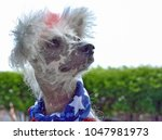 chinese crested hairless dog... | Shutterstock . vector #1047981973
