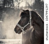 Small photo of Pony with halter outside at cold spring morning, breathing hiss on the air.