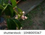 gerbera jamesonii gerbera... | Shutterstock . vector #1048005367