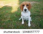 Beagle Dog Sitting Isolated In...
