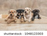 Stock photo american staffordshire terrier puppies sitting in a box 1048123303