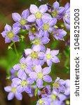 Small photo of Swertia angustifolia ,showy purple flower , Doi Inthanon national park ,Thailand