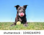 black lab retriever mix with... | Shutterstock . vector #1048264093