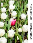 Small photo of Common Tulipa Liliaceae Tulip