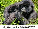 mountain gorilla in volcanoes... | Shutterstock . vector #1048449757