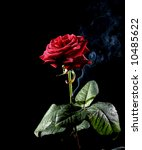 classic red rose with smoke on... | Shutterstock . vector #10485622