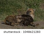 hyena family with pups suckling ... | Shutterstock . vector #1048621283