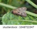 Small photo of Moth of noctuidae family on beet plant commonly known as owlet moths.