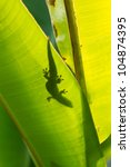 silhouette of hawaiian gecko on banana leaf - stock photo