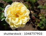 "Small photo of Yellow rose illuminated by sun rays on green background. The name of the rose is ""Friesia (Sun Sprite) ""."