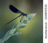 A Male Banded Demoiselle ...