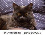 close up of a black cat ... | Shutterstock . vector #1049109233