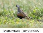 eurasian dotterel  charadrius... | Shutterstock . vector #1049196827