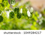 Small photo of Green flowers of lunaria plant. beautiful garden flowers