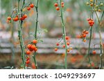 fresh tomatoes on the tree in... | Shutterstock . vector #1049293697