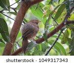 Small photo of Jungle Babbler found in Kerala India