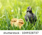 photo of two small chicken in... | Shutterstock . vector #1049328737