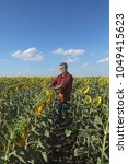 Small photo of Farmer or agronomist examining sunflower plant in field