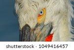 dalmatian pelican  pelecanus... | Shutterstock . vector #1049416457