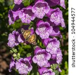 Small photo of American Painted Lady or American Lady (Vanessa virginiensis) butterfly