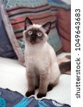 a playful young siamese cat... | Shutterstock . vector #1049643683