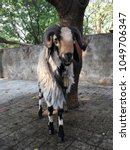 Small photo of White and Black medium size curvy horned Male Sheep (Ram) tied with a rope to the tree