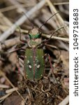 Small photo of Common tiger beetle (Cicindela maroccana). Monfrague National Park. Caceres. Extremadura. Spain.