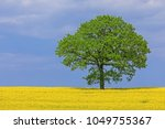 rapeseed or canola field with a ... | Shutterstock . vector #1049755367