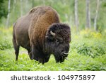 Large Male Of American Bison I...