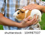 Guinea Pig In Child's Hands
