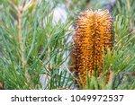 Closeup Of Banksia Spinulosa...