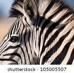 Zebra Portrait With Out Of...
