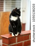 Small photo of animals outdoors - cute black and white cat, with golden eyes and long whiskers, sitting on a brick wall, with funny face expression and tongue sticking out, with white metal fence in the background