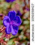 Small photo of Glory Bush (Tibouchina urvilleana) in park, Los Angeles, California, USA