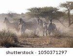 Zebras Backlit In A Cloud Of...