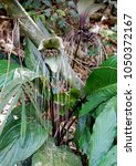Small photo of White batflower, Tacca integrifolia, growing in a tropical jungle with all its whiskers intact.
