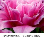 the petals of the unique thick... | Shutterstock . vector #1050434807