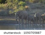 a family of elephants in kruger ... | Shutterstock . vector #1050705887