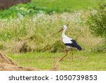 white stork in summer | Shutterstock . vector #1050739853