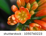Close Up On Clivia Flower...